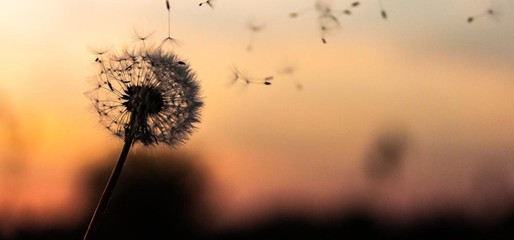 Dandelion being blown against a sunset